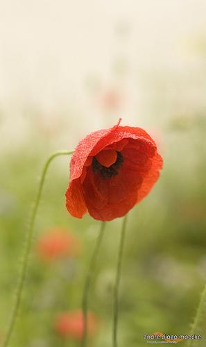 red rain flower